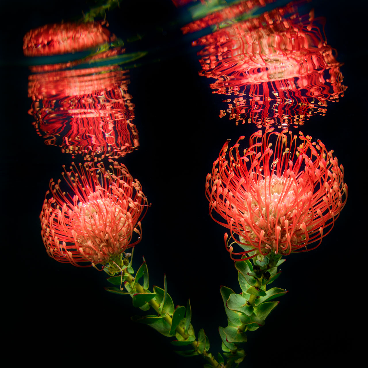 Pin Cushion Protea Flower image taken underwater