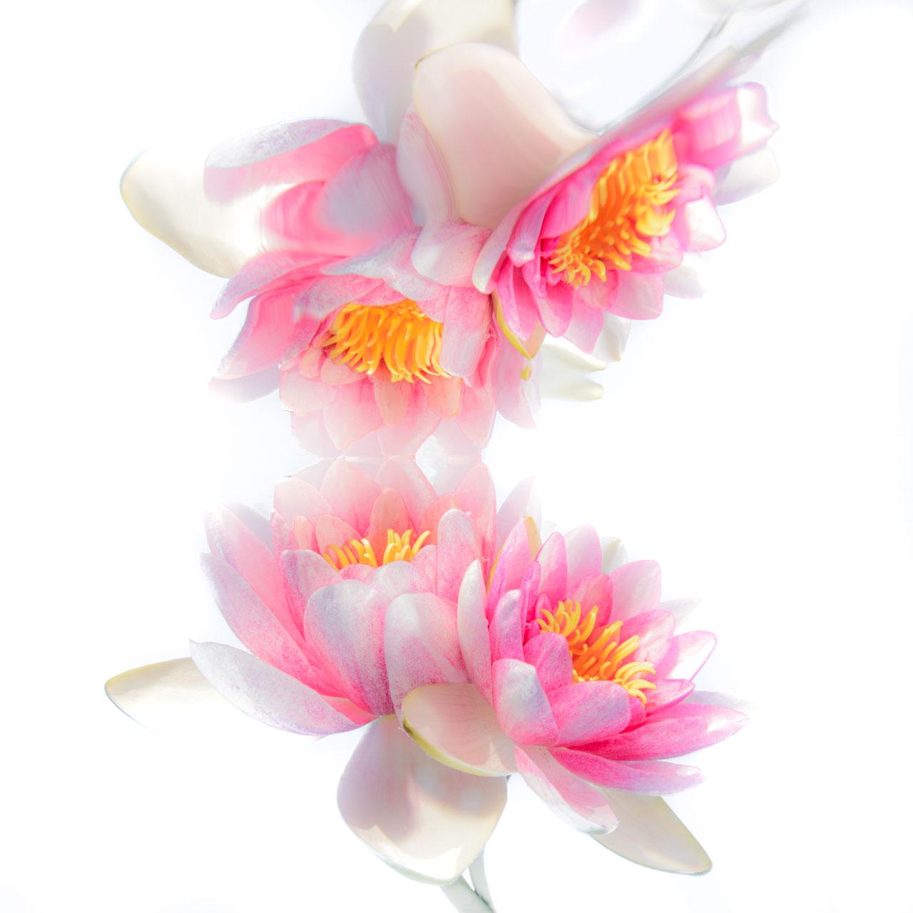 Fine art image of Pink Waterlilies underwater.