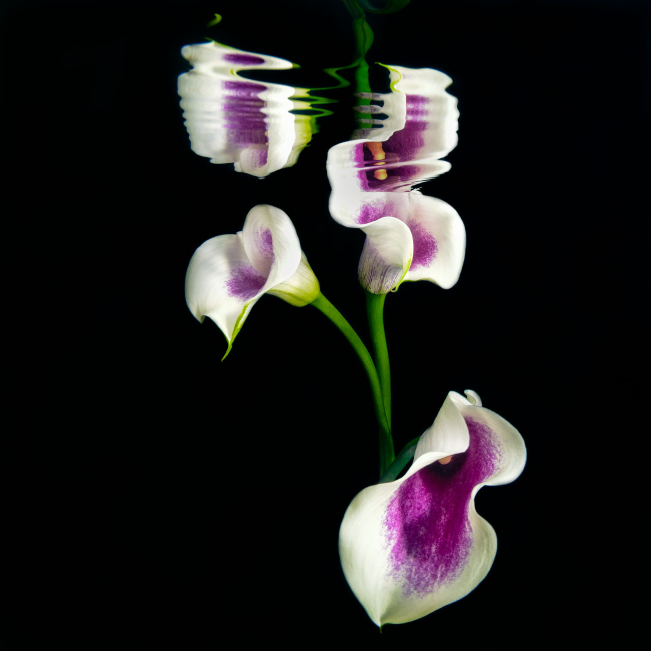 Purple and White Cala Lily underwater fine art image