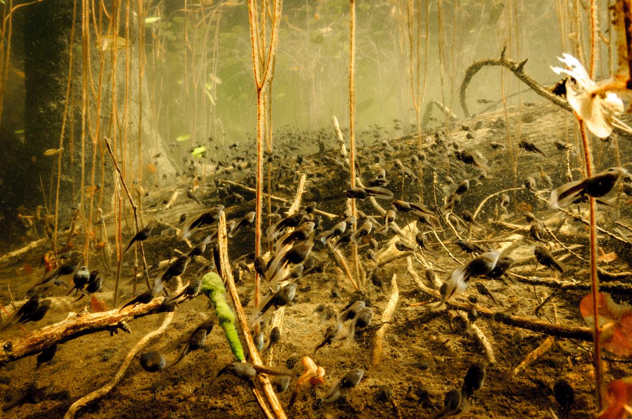 tadpoles swarm to the edge of lake to feed