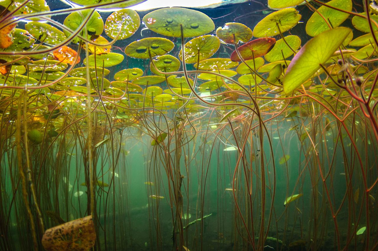 Water-shield plants growing in profusion in an aquatic habitat