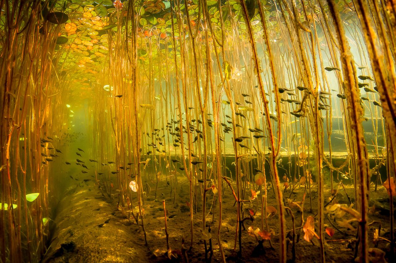 Western Toad tadpoles in Cedar Lake