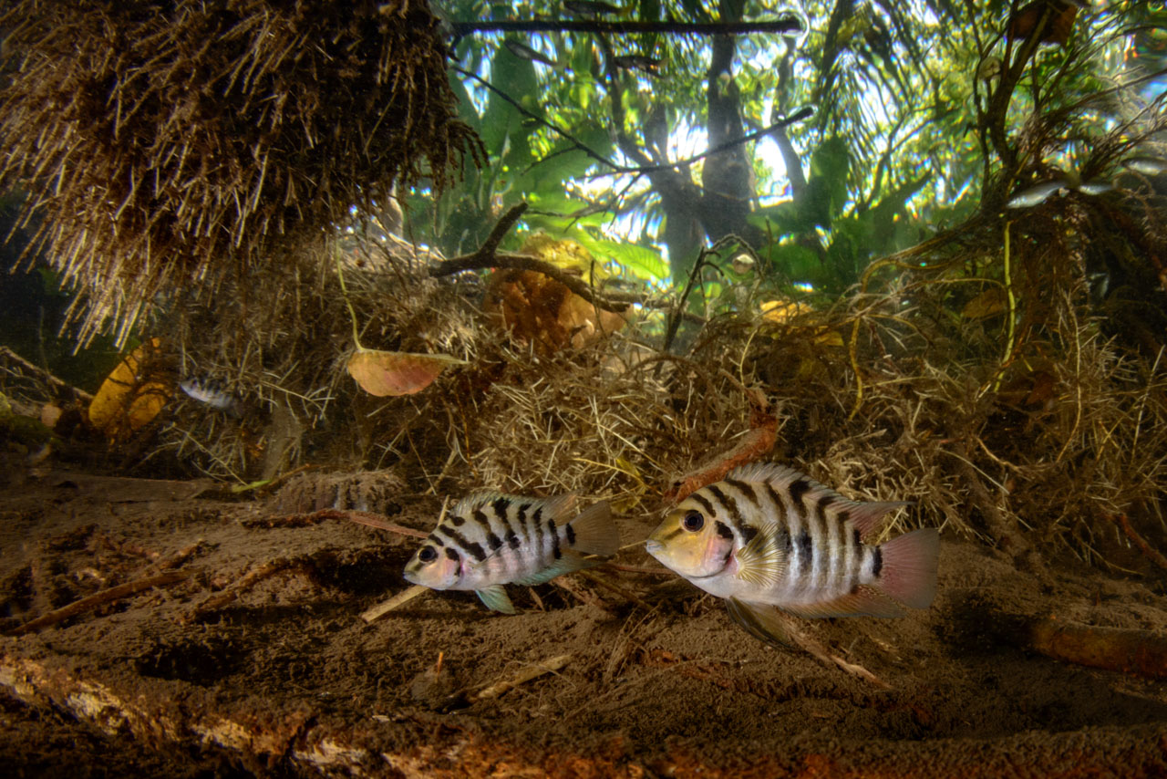 Convict Cichlid pair in river