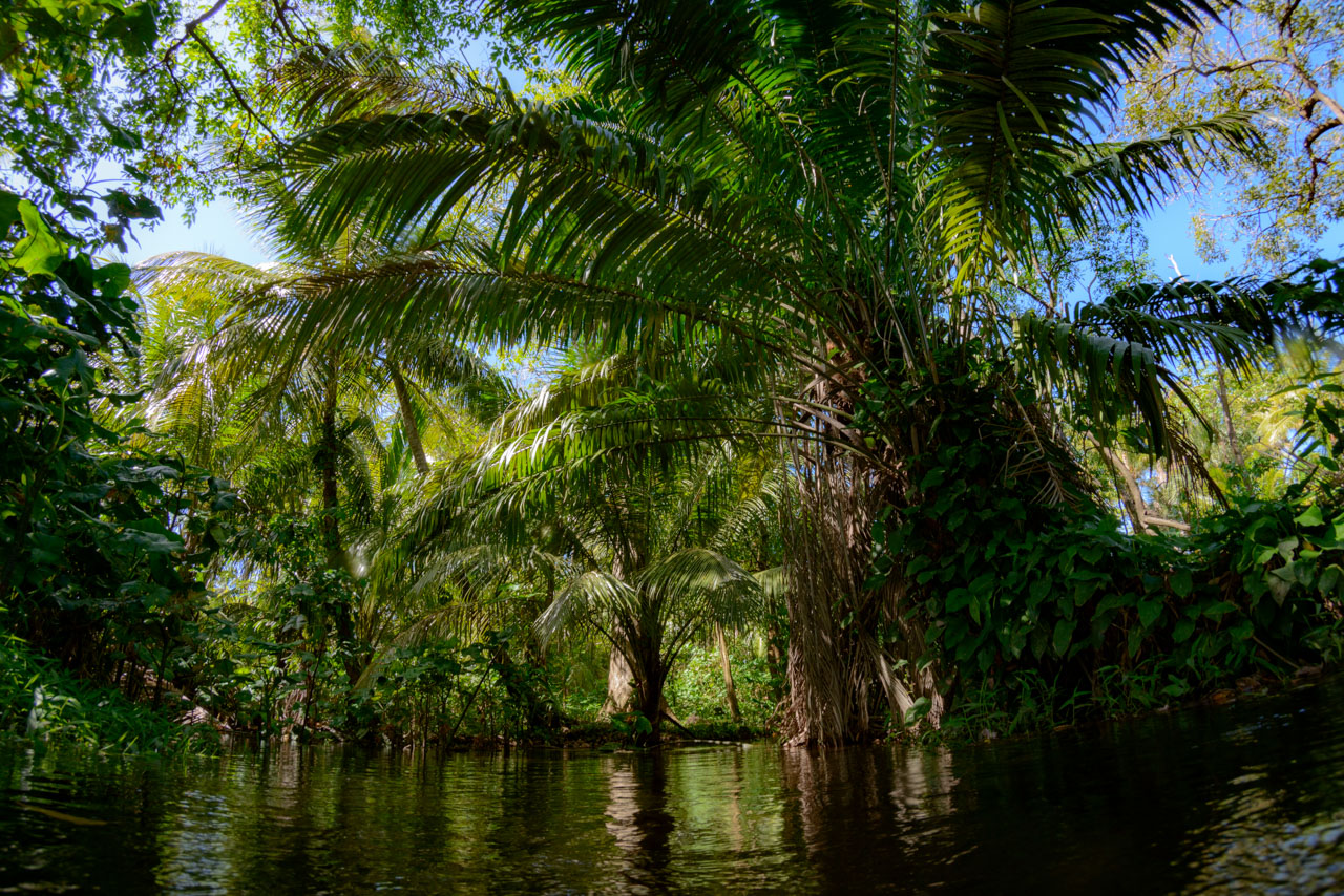 Palm trees along the banks of small river in nicaragua