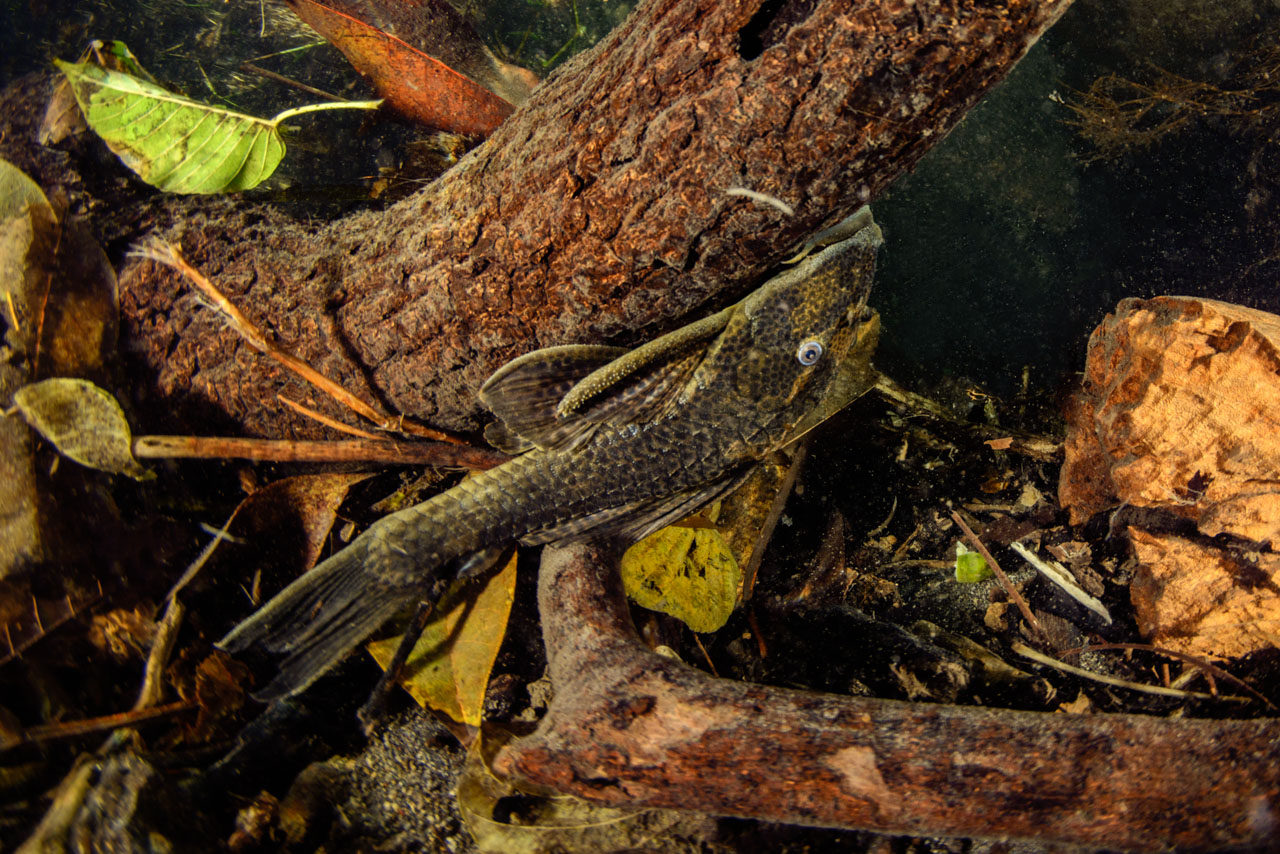 Plecostomus catfish on log