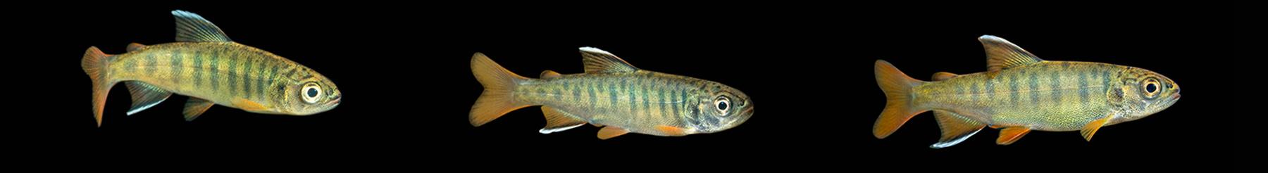 Underwater salmon video stock clips