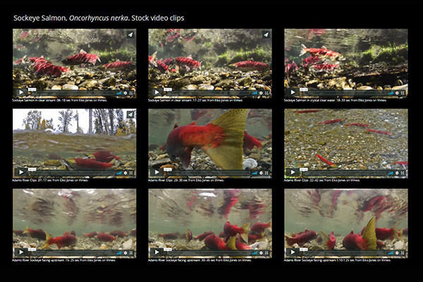 Underwater salmon stock video clips for sale