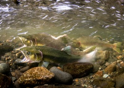 Moment of egg and sperm release in Pink Salmon Onchorhyncus gorbuscha