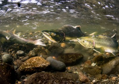Female Pink Salmon covering freshly laid eggs