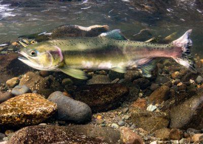 Pink Salmon guarding freshly laid eggs