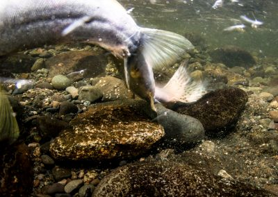 Female Pink Salmon digging Redd in preparation for spawning.