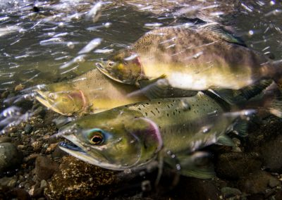 Male Pink Salmon jostling for position prior to spawning