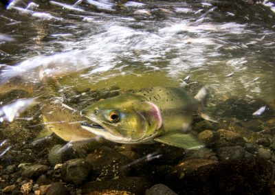 Female Pink Salmon getting ready to spawning