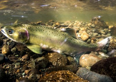 Female Pink Salmon probing her Redd with anal fin to see if the interstitial spaces are sufficient