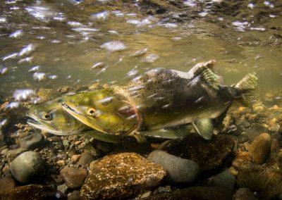 Pink Salmon preparing for spawning