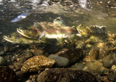 Sparring between salmon prior to spawning