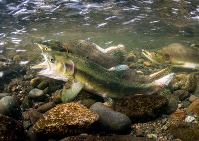 Pink Salmon spawning moment beginning