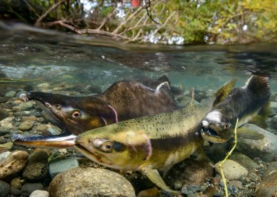 Pink salmon just prior to egg release in Quinsam River
