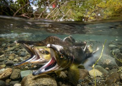 Moment of egg and sperm release with Pink Salmon in the Quinsam River