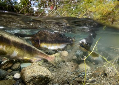 Female Pink Salmon covering freshly layed eggs in the Quinsam River