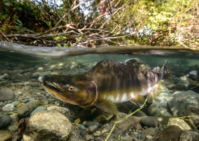 Pink salmon getting ready to spawn in Quinsam River