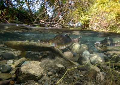 Pink salmon preparing redd in Quinsam River