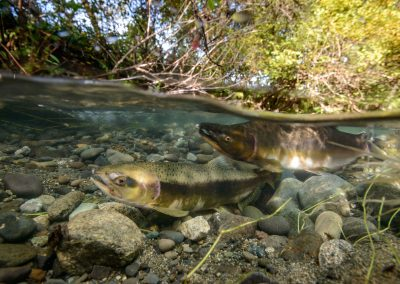 Pink salmon courtship maneuvers in Quinsam River