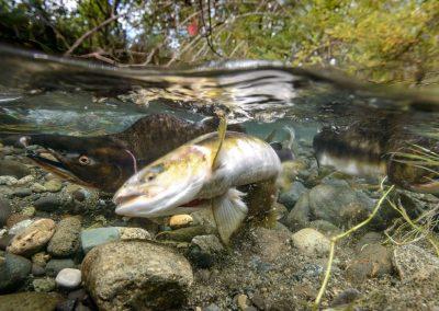 Pink salmon female digging redd in Quinsam River