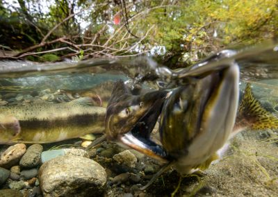 Pink salmon sparring maneuvers in Quinsam River