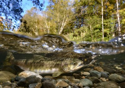 Pair of Pink Salmon getting ready to spawn in the Quinsam River