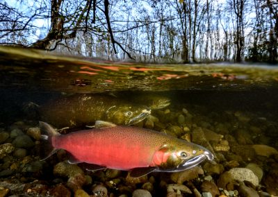 Split image of Coho salmon oncorhyncus kisutch in the Quinsam River