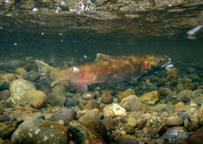 post spawn female coho salmon covering redd