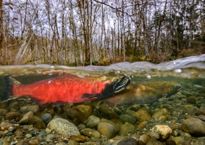 Coho Salmon getting ready to spawn in Quinsam River