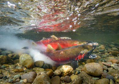 Coho salmon oncorhyncus kisutch spawning