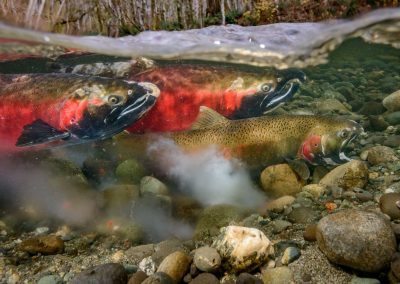 end of egg release from coho salmon