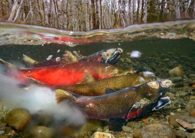 over under image with coho salmon spawning