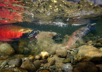 Female coho salmon covering redd after laying eggs