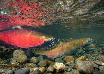 Female Coho Salmon indicating ready for egg release