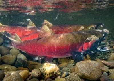 Male Coho Salmon Oncorhyncus kisutch starting to release milt