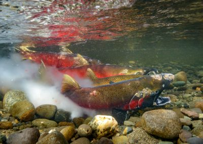 Coho Salmon in the act of spawning, egg and milt release