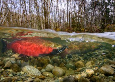 Pair of coho Salmon ready to spawn