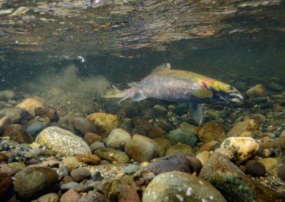 Female Coho salmon preparing her redd for spawning
