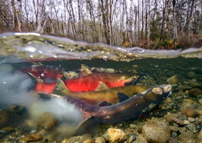 Split image of Coho Salmon in the act of spawning.