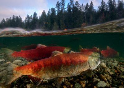 Split image of Sockeye Salmon Oncorhyncus nerka