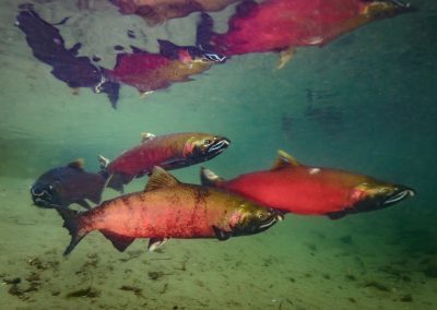 Group of Coho Salmon, Oncorhyncus kisutch, in Quinsam River