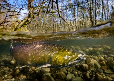 Split iage of Chinook or King Salmon in the Quinsam River