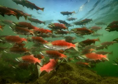 Large school of Sockeye Salmon Oncorhyncus nerka in Adams River