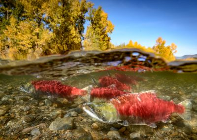 Over under image of sockeye salmon in the Adams river