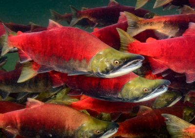congregation of Sockeye Salmon in the Adams River