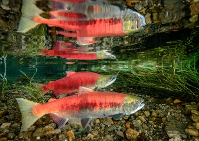 Reflection of sockeye salmon in the underwater surface of the river